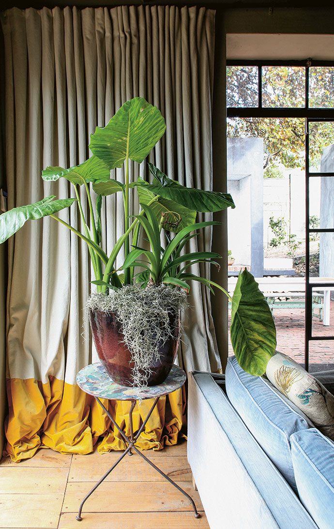 An oversized alocasia plant and Spanish moss in front of curtains made of canvas with a contrasting bottom border of yellow velvet.