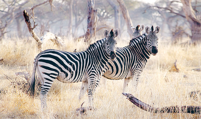 Animals like zebra roam freely between the Kruger National Park and Sabi Sand.