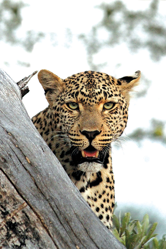 The resident leopard is called Tiyani.