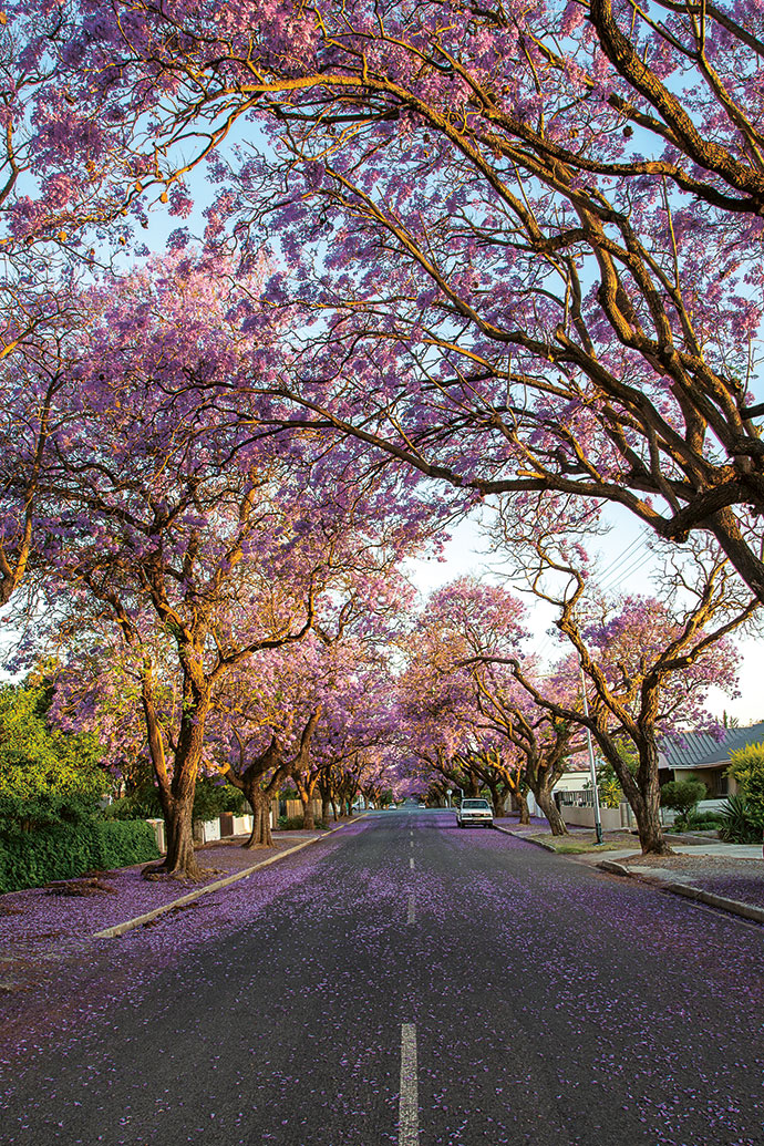 The street leading to the House with the Pink Door, strewn with jacaranda flowers.