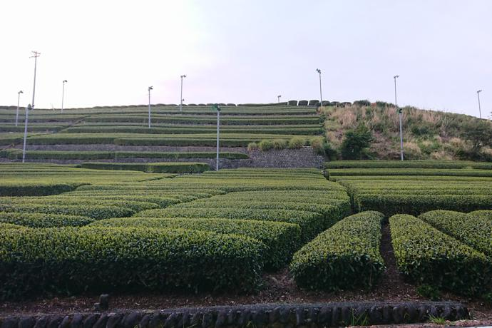 Tea plantations, Shizuoka Prefecture